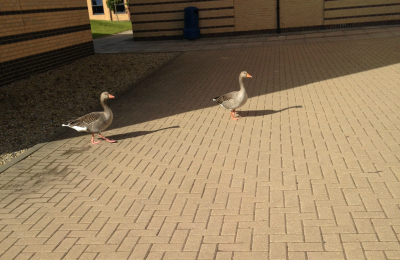 Ducks on York's campus